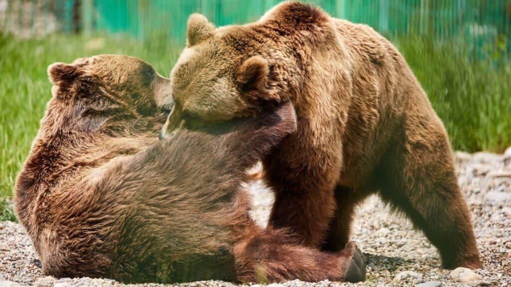 Zubobolja Medvjed